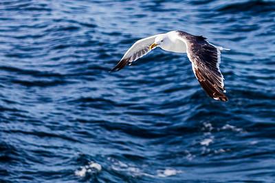 Goéland Marin (black-backed gull)