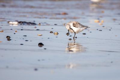 ça me gratte l'oeil semble nous faire comprendre ce bécasseau sanderling