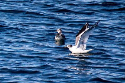 Mouette de Sabine (Sabine's Gull)