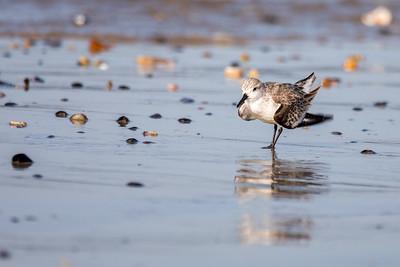 Un pas de danse d'un bécasseau sanderling