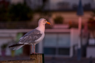 Un goéland argenté au réveil (A herring gull waking up)