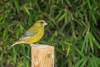 Verdier d'Europe (European greenfinch)