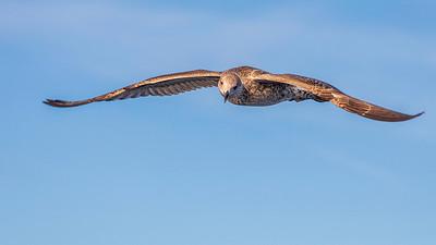 Goéland argenté juvénile (Juvenile Herring Gull)