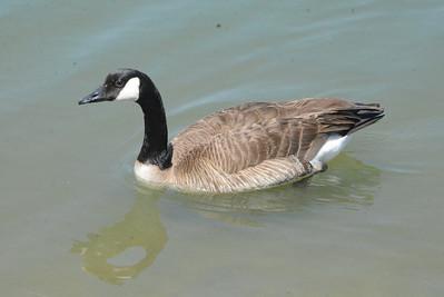 Canada Goose 32 April 2013