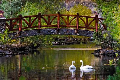 Swans at Caughlin Ranch