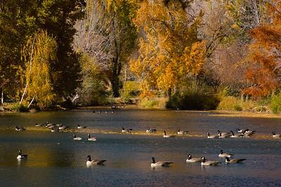 Idlewild Geese in Fall