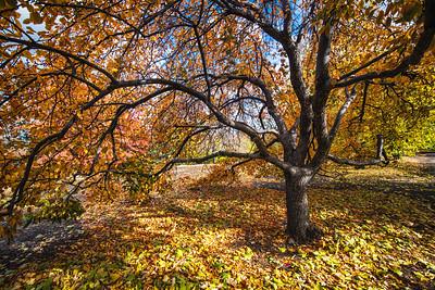 My Favorite Tree, Fall 2017