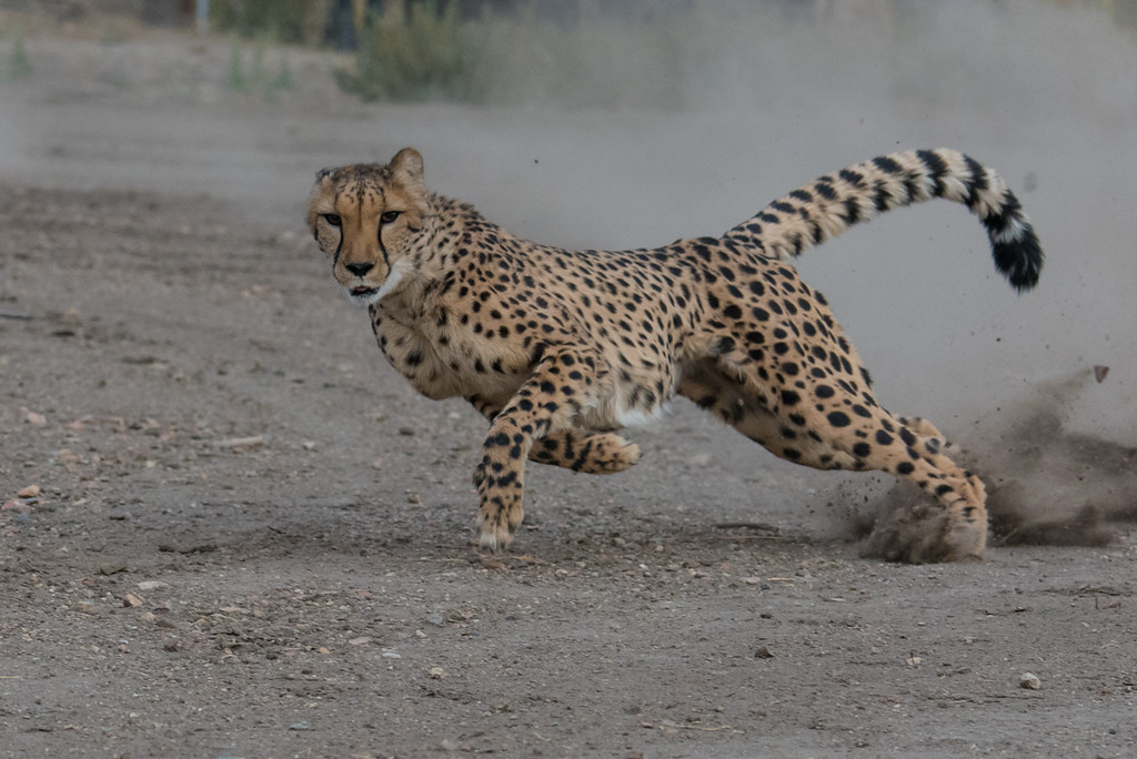 First of several action shots. These cats are amazing, they basically leave the ground with every full stride and are up to full speed almost immediately.