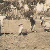 Lawn planting for meeting tent 1934/5