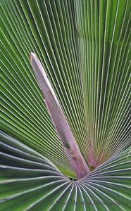 Phallic  Fern