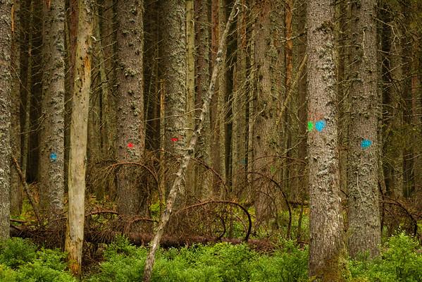 Barevný puntík označuje strom, který by se měl pokácet. Za ČSSD značili červeně, za vlády se Zelenými - zeleně a nyní za ODS je většina stromů modrých. Zelení označovali jen skutečně napadené stromy.