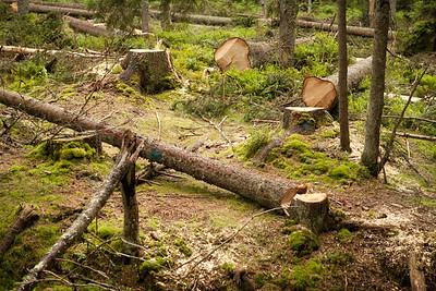 """""""Další rizika takto pokácených stromů: nešikovně spadané stromy mohou poškodit stromy zdravé, které jsou po té snadnější kořistí pro nezbedné kůrovce."""""""