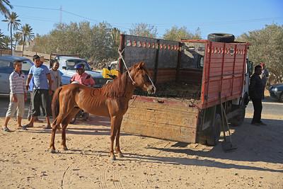 Reiturlaub auf Djerba/Tunesien So werden Pferde zum Verkauf angeboten