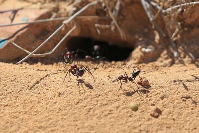 Reiturlaub auf Djerba/Tunesien Ameisen 2 cm groß