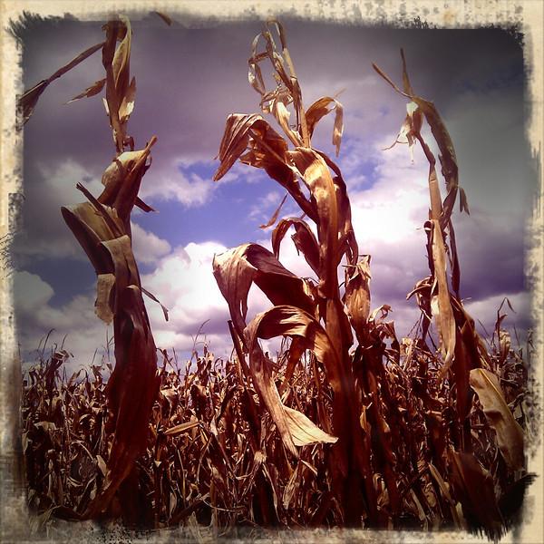 Golden corn crop