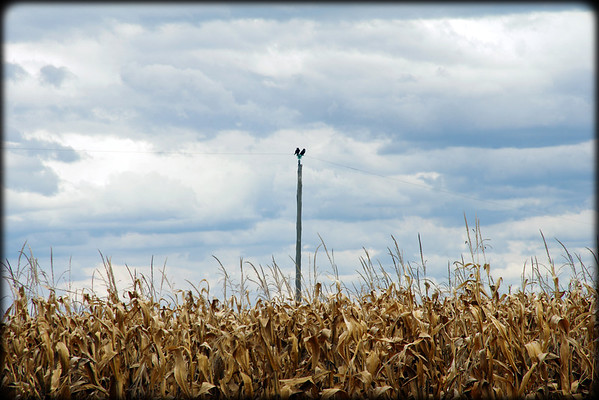 Crows in the cornfield