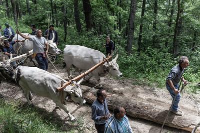 Maggiaioli  sui tronchi manovrano per l'esbosco del Maggio. Ogni coppia di buoi è controllata dal suo proprietario