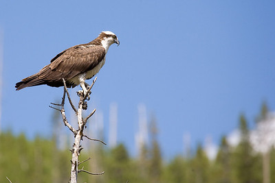 Osprey, Yellowstone