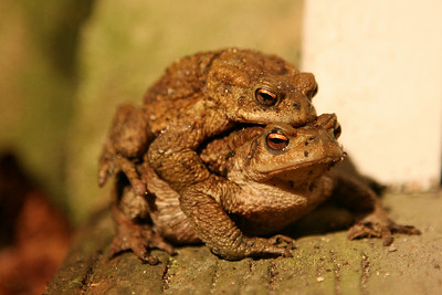 One March evening we opened the back door to find these two love-toads engaged in amorous rapture.  The eyes say it all - a beautiful shade of pearly orange with a sott come-hither expression.