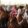 Freilandhühner verlassen den Stall, Bauernhof Jessen-Oxbüll, Julia und Frank Jessen, WWF Ostseelandwirt des Jahres, Ostseepreis 2014, Wees bei Flensburg, Schleswig-Holstein, Deutschland