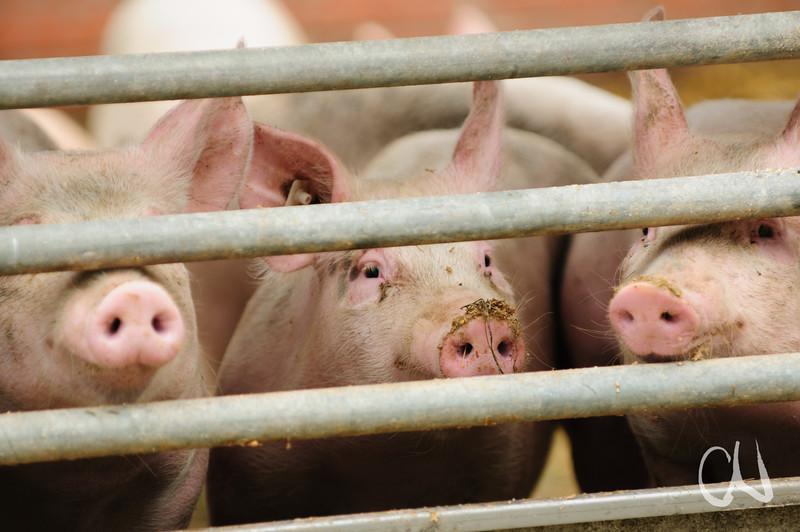 Schweine, Domäne Fredeburg, Biohof, Demeter, WWF Ostseelandwirt des Jahres, Ostseepreis 2014, Fredeburg, Schleswig-Holstein, Deutschland