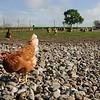 Hühner in Freilandhaltung, Bauernhof Jessen-Oxbüll, Julia und Frank Jessen, WWF Ostseelandwirt des Jahres, Ostseepreis 2014, Wees bei Flensburg, Schleswig-Holstein, Deutschland