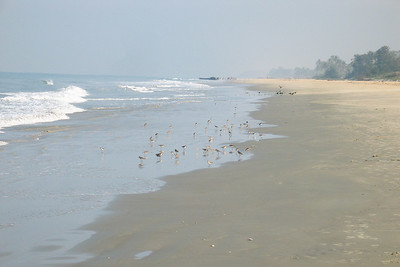 Sandpipers on the beach, Goa