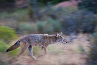 Lone Coyote on the move, Devil's Garden, Arches National Park