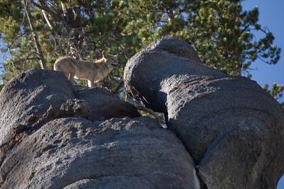 Coyote, Yellowstone