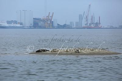 Robben auf der Sandbank im Hafen von Fanö - Im Hintergrund der Hafen von Esbjerg/Festland