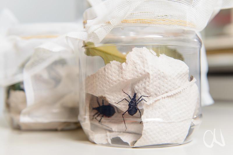 lebende Raubwanzen, Forschungsobjekte von Prof. Oliver Betz, Bionik-Forschung, Biologie, Insekten, Universität Tübingen, Deutschland