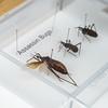 Raubwanzen, Insektensammlung, Prof. Oliver Betz, Bionik-Forschung, Biologie, Insekten, Universität Tübingen, Deutschland