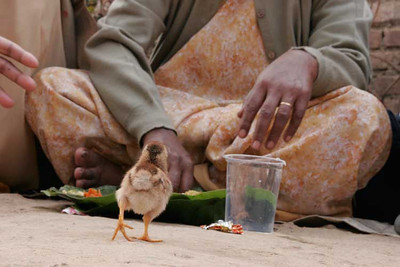 Little chicken at our table, tribe in the forest of Ranchi, India