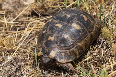 Seit vielen Jahren wird dieses Vorkommensgebiet von mir in regelmässigen Abständen besucht. Die Populationsdichte war noch nie gross und die Ausdehnung des Habitats beschränkt sich auf etwas mehr als 10 Quadratkilometern (DEVAUX 2015). Bisher wurden von mir ausschliesslich ältere bis ganz alte Exemplare gefunden. Noch nie bekam ich hier, im Gegensatz zu vielen anderen Breitrandschildkrötengebieten, einen Schlüpfling, ein Jungtier oder gar aufgebrochene Eigelege zu Gesicht. Von einer ausgewogenen Population mit Schildkröten unterschiedlichen Alters kann also keine Rede sein.