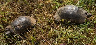 Zwergbreitrandschildkröte (Testudo marginata) oder Weissingeri-Schildkröte oder Kardamyli-Schildkröte