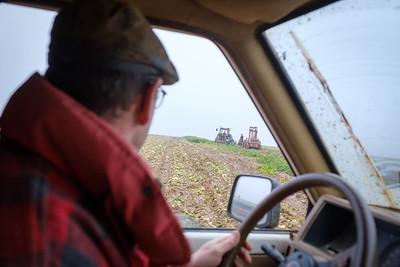 La récolte des céleris continu malgré une météo très humide