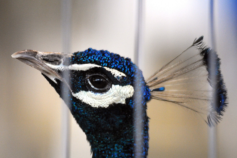 A male peacock struts around its cage on Monday at the Larimer County Fair.