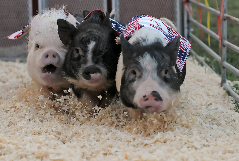 A trio of potbelly pigs scampers away from the starting blocks for a heat of the Ham Bone Express pig races on Friday at The Ranch during the Larimer County Fair.
