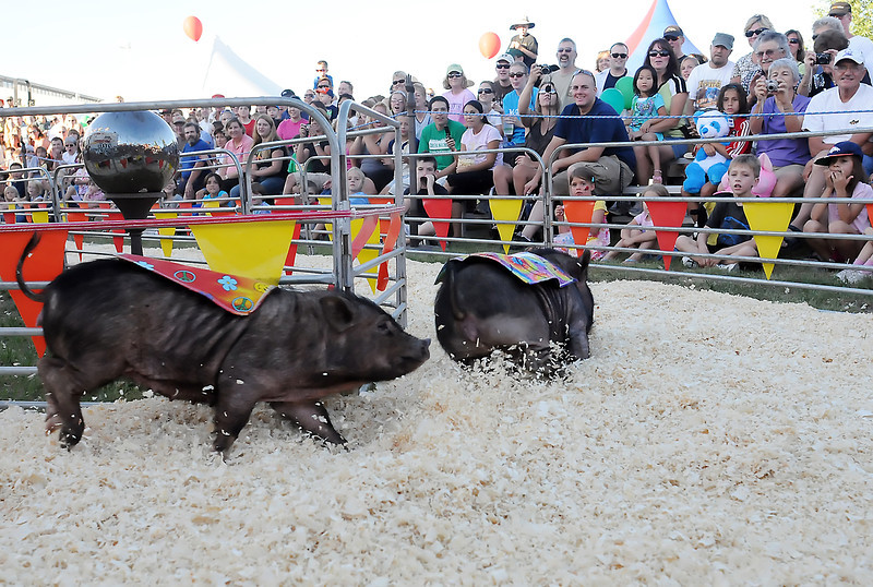 Potbelly pig Angelina Sowlie, left, tries to catch leader Jennifer Hamiston during the Ham Bone Express pig races Friday at The Ranch during the Larimer County Fair. The races will continue through Tuesday and are free to attend.