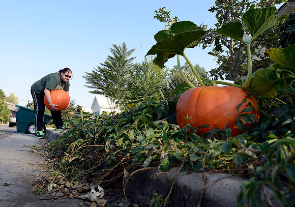 "Lacey DeMars picks up a huge pumpkin to move it for her mom Karen DeMars Tuesday afternoon in downtown Loveland. Karen DeMars planted a few pumpkin seeds in front of her home and to her suprise they grew to be quite large.The biggest one weighed in at 55 pounds. Karen had her daughter move the pumpkins away from the front of the house to make sure they didn't get smashed before she could used them to decorate for Halloween. She said if something happened to them ""It would be heartbreaking. It's just been so much fun to watch them grow so big."""