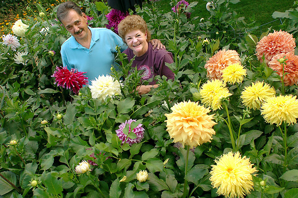 Cindy and Rick Sprague pose for a photo Wednesday showing off some of the many dahlia flowers they grow at their Loveland home.