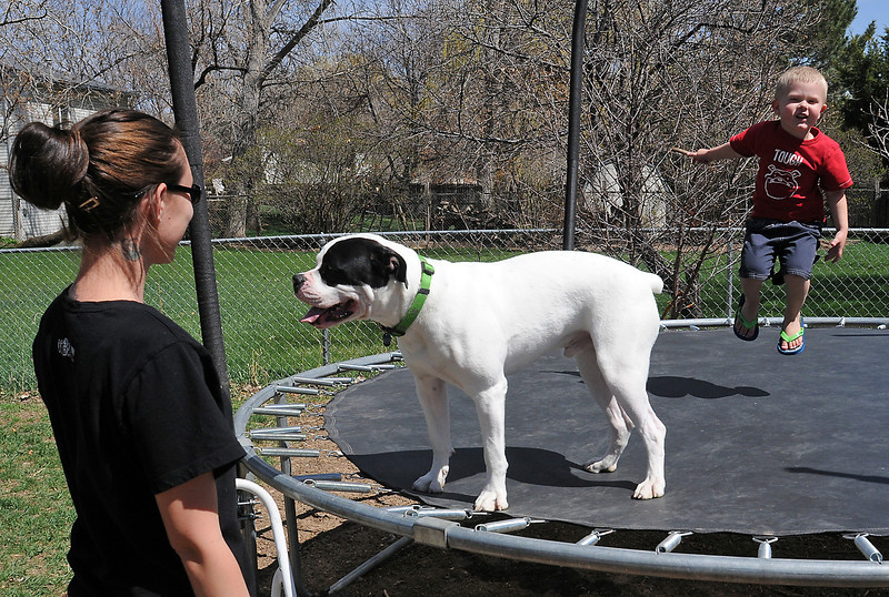 Ashley Charters looks on while her son, Liam, 3, and their dog, Deuce, play on the trampoline together at their Fort Collins home Wednesday. Deuce is a one-year-old American bulldog and recently had emergency surgery to remove a chew toy he had swallowed.