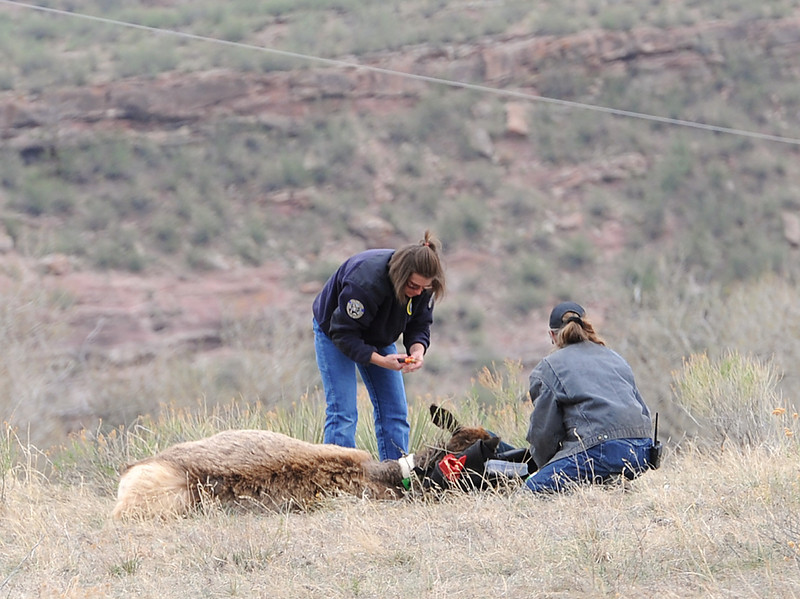 Colorado Parks and Wildlife employees colar an elk Wednesday on land just off Larimer County Raod 18E near Carter Lake in an effort to monitor the herd.