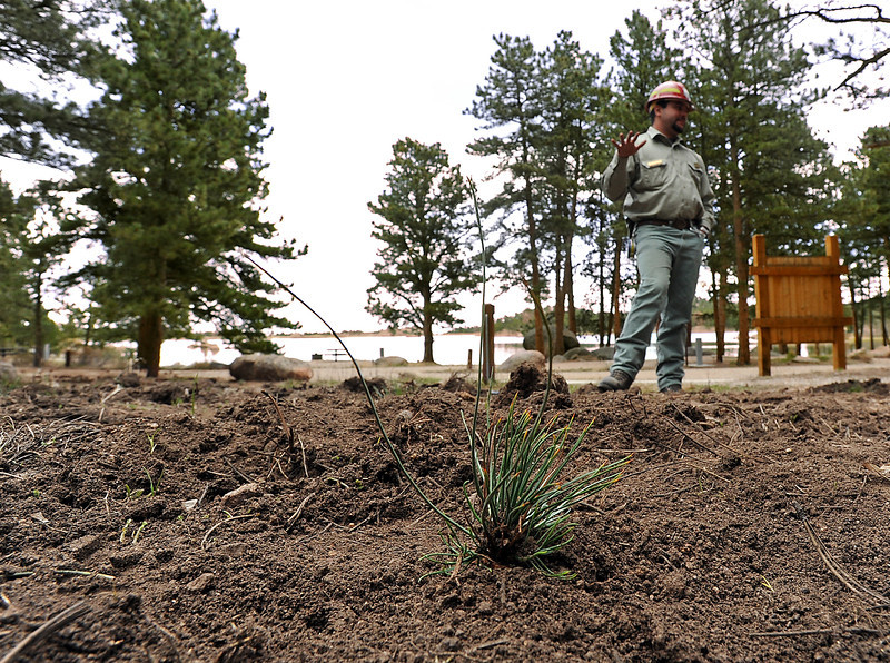 Standing at the Lake Dowdy campground at Red Feather Lakes, Dan Kipervaser, a forester with the Canyon Lakes Ranger District of the U.S. Forest Service, talks about the new saplings, like the one in the foreground, that they are planting in an effort to replace trees removed by bettle kill.
