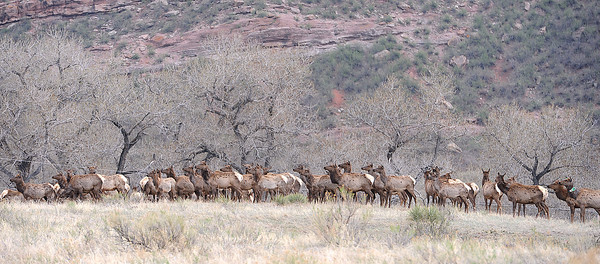 A herd of elk keep a close eye on another member of their herd as Colorado Parks and Wildlife employees colar the elk as part of an effort to monitor the herd Wendnesday off Larimer County Road 18E west of Loveland.