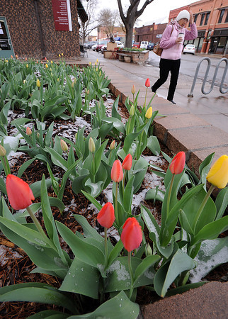 Diana Tasciotti of Loveland walks past a bed of tulips covered in snow Tuesday morning on the 400 block of east Fourth Street in downtown Loveland. Photo by Jenny Sparks