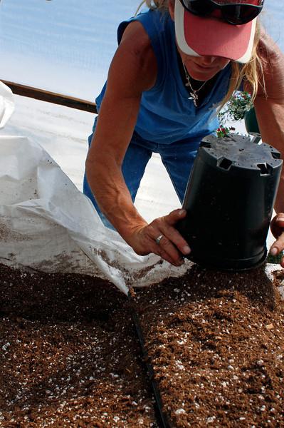 Loveland Garden Center & Nursery employee Laura Ronan fills flats with soil in preparation to plant lobelia, an ornamental flower popular in Colorado, Sunday, in Loveland, Colo.