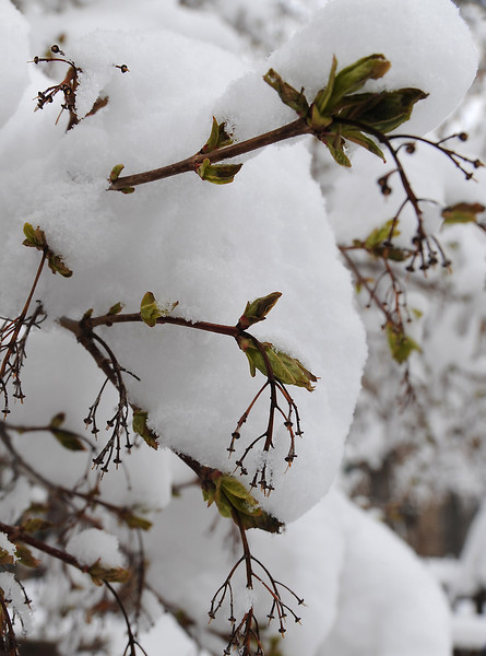Buds on a tree are covered in snow in downtown Loveland on Monday, April 15, 2013.