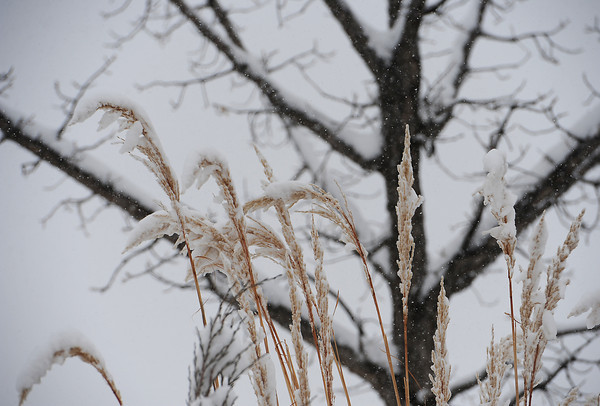 Ornamental grass is weighed down by heavy snow in north Loveland on Monday, April 15, 2013.
