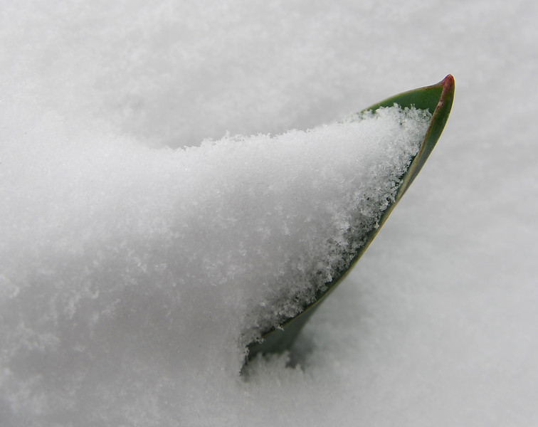 A tupil leaf peaks out of the snow in downtown Loveland on Monday, April 15, 2013.